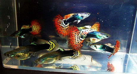 El Diablo Guppies for Sale with Priority Mail